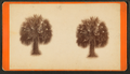 Palmetto trees, by Ryan, D. J., 1837-.png