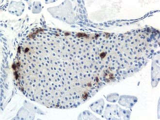 Pancreatic polypeptide - IHC for Pancreatic polypeptide in a mouse pancreas, 200×