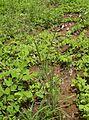 Panicum effusum plant.jpg