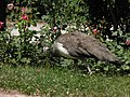 Paon bleu femelle (Pavo cristatus) (3).jpg