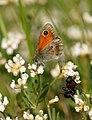 Papallones de casa meva - Coenonympha pamphilus (5165746061).jpg
