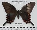 PapilioBianorDehaaniFUpUnAC1.jpg