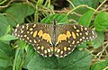 Papilio demoleus – Lime Swallowtail - Lime butterfly from Peravoor 02.jpg