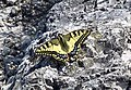 Papilio machaon3.jpg
