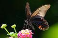 Papilio protenor protenor 20130804.jpg