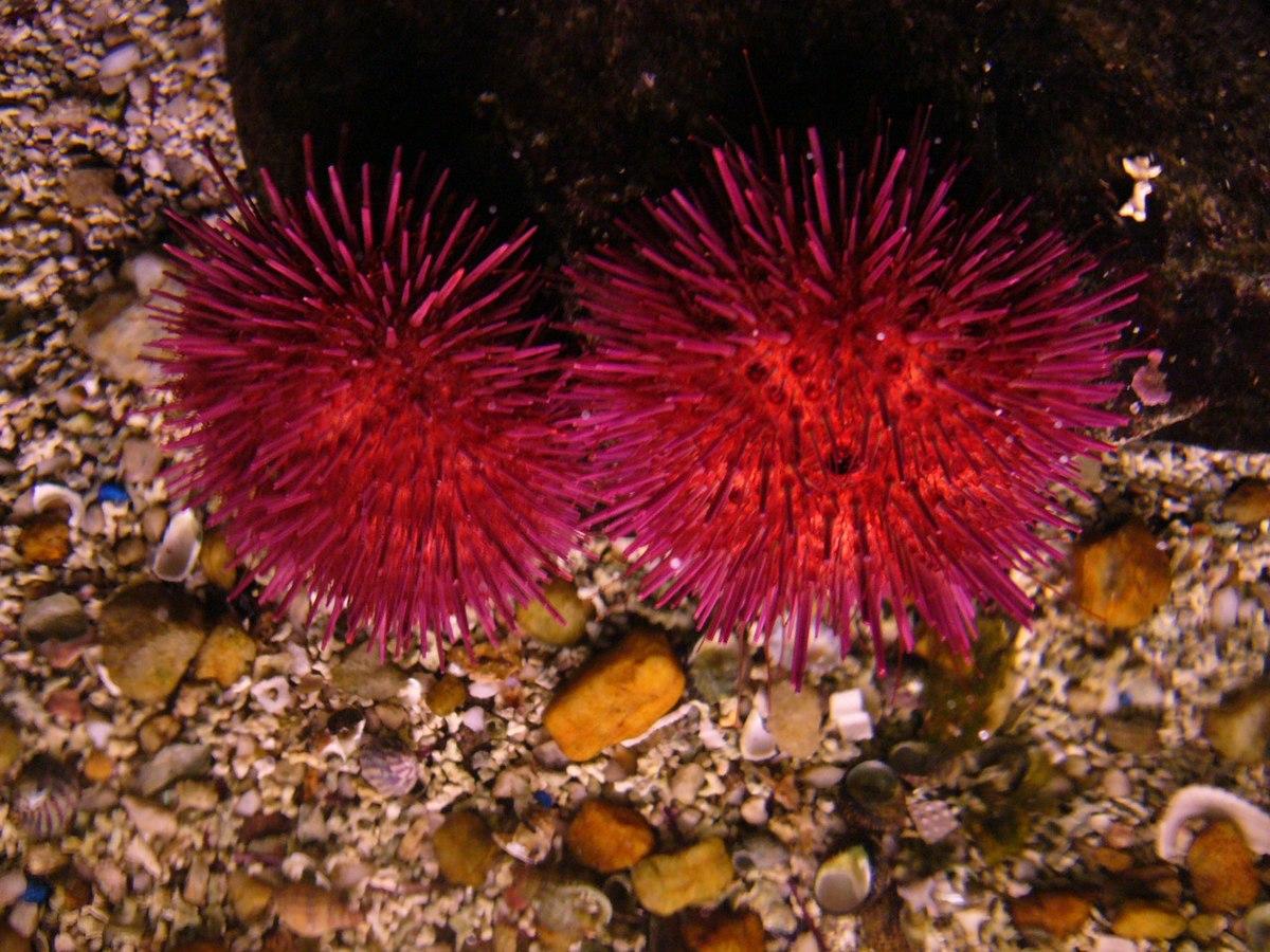 Sea Urchin Wikimedia Commons
