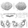 Parasite140121-fig2 Pseudorhabdosynochus jeanloui (Monogenea, Diplectanidae) Fig2.png