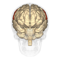 Parietal lobe - anterior view.png