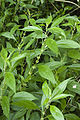 Parietaria officinalis ailly-sur-somme 80 17062008 6.jpg