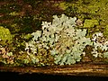 Parmelia sulcata 101198322.jpg