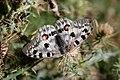 Parnassius apollo (Papilionidae- Parnassiinae- Parnassiini) on Cirsium sairamense (Asteraceae) (33002488840).jpg