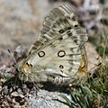 Parnassius apollo nevadensis.jpg