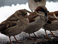 Passer domesticus -Moscow -two-8.jpg