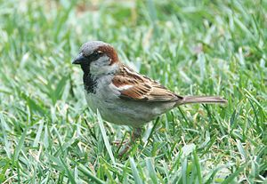 Passer domesticus April 2009-1.jpg
