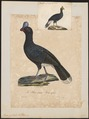 Pauxi galeata - 1825-1834 - Print - Iconographia Zoologica - Special Collections University of Amsterdam - UBA01 IZ16900087.tif