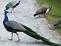 Peacocks and Peahens at Blair Castle - geograph.org.uk - 776556.jpg