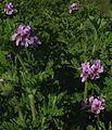 Pelargonium graveolens 2.JPG