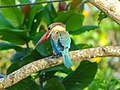 Pelargopsis capensis, Stork billed kingfisher 5.jpg