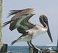 Pelican 12 (4380601496).jpg