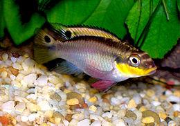 Pelvicachromis taeniatus.jpg