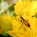 Pennsylvania leatherwing beetle on a yellow flower (14940777282).jpg