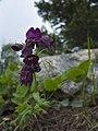 Penstemon whippleanus 1.jpg