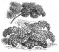 Persil à feuille de fougère Vilmorin-Andrieux 1883.png