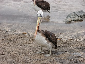 Peruvian pelican - Image: Peruvian pelican in Pan de Azucar National Park in Chile September 2009