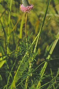 Petalostemum purpureum