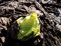 Petasites japonicus Fuki Giant Butterbur01.jpg