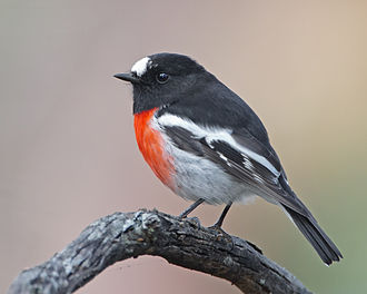 Australasian robin - Scarlet robin, Knocklofty Reserve, Hobart, Tasmania