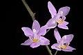 Phalaenopsis equestris var. rosea (Luzon, Philippines) Valmayor & D.Tiu, Philipp. Orchid Rev. A-V(3)- 18 (1983) (35428036166).jpg