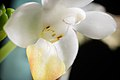 Phalaenopsis lobbii (Rchb.f.) H.R.Sweet, Gen. Phalaenopsis 53 (1980) (25785018457).jpg