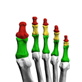 Phalanges of left foot07 inferior view.png