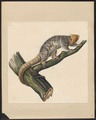 Phalangista maculata - 1700-1880 - Print - Iconographia Zoologica - Special Collections University of Amsterdam - UBA01 IZ20300246.tif