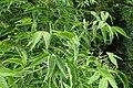 Phellodendron amurense kz05.jpg