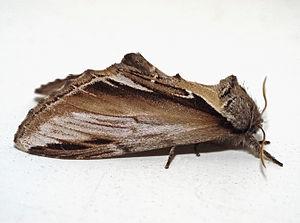 Pheosia gnoma02.jpg