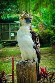 Philippine eagle species of bird