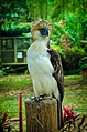 Philippine eagle 2.jpg