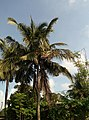 Philippines Fruitful Coconuts.jpg