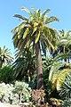 Phoenix canariensis - Jardín Botánico de Barcelona - Barcelona, Spain - DSC09069.JPG