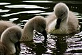 Photojenni - Cute baby swan (by).jpg