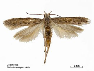 <i>Phthorimaea operculella</i> Species of moth