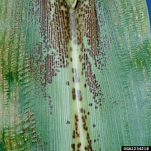 Physoderma maydis - Maize leaf showing infection by Physoderma maydis