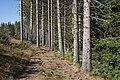 Picea abies trees, Fraisse-sur-Agout.jpg