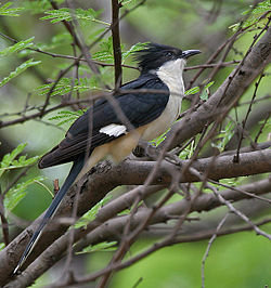 Pied Cuckoo (Clamator jacobinus) at Hyderabad, AP W 136.jpg