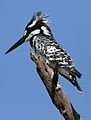 Pied Kingfisher, Ceryle rudis, at Pilanesberg National Park, South Africa (28442950626).jpg