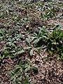 Pilosella officinarum 2021-09-08 1443.jpg