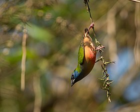 Pin-tailed Parrotfinch.jpg