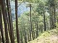 Pine trees (3302507929).jpg